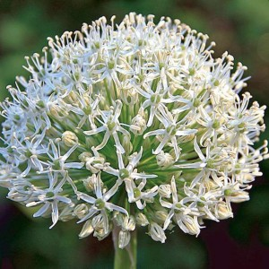 ALLIUM CZOSNEK MOUNT EVEREST 1 SZT.