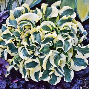 HOSTA FUNKIA MINI SKIRT 1 SZT.