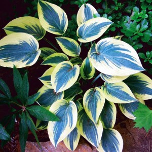 HOSTA FUNKIA MINI FROST 1 SZT.