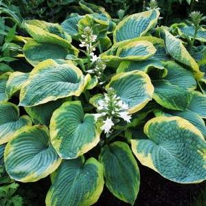 HOSTA FUNKIA FRANCES WILLIAMS 1 SZT.