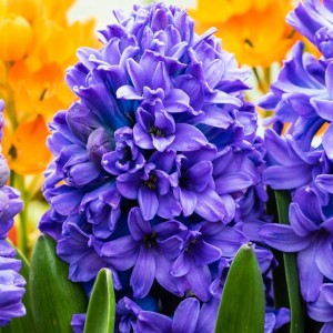 HYACINTH HIACYNT BLUE STAR10 SZT.