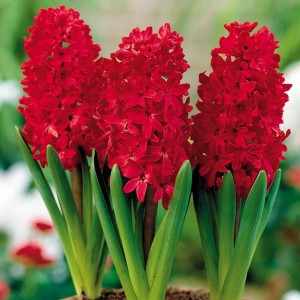 HYACINTH HIACYNT RED GLORY 10 SZT.