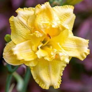 HEMEROCALLIS LILIOWIEC DOUBLE YELLOW 1 SZT.