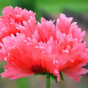 PAPAVER MAK FRINGED FANCY FEATHERS ROZE 1 SZT.