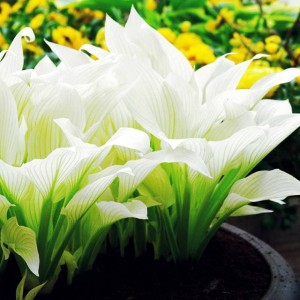 HOSTA FUNKIA WHITE FEATHER 1 SZT.
