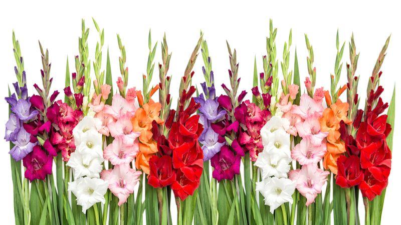 Cebulki Kwiatów Wiosennych Królik Sklep Internetowy I Hurtownia
