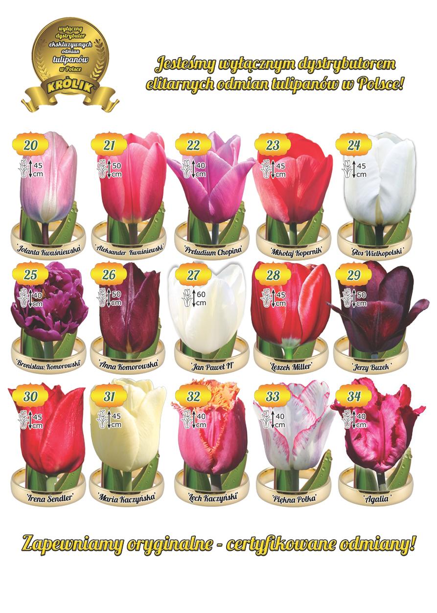 Elitarne odmiany tulipanów