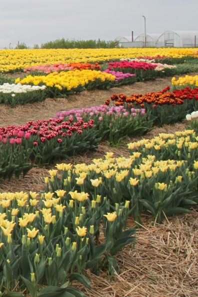 Tulipany - kolekcja
