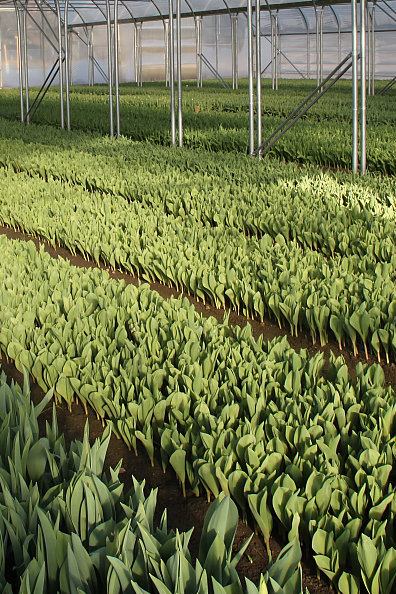 Tulipany - uprawa pod osłonami