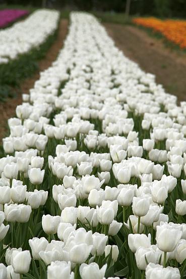 Tulipany - plantacja polowa