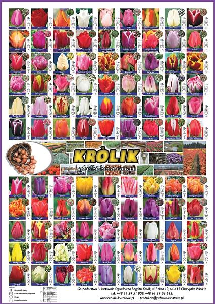 Oferta Tulipanów do pędzenia
