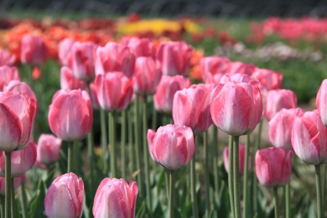 Tulipany cięte Produkcja i Sprzedaż